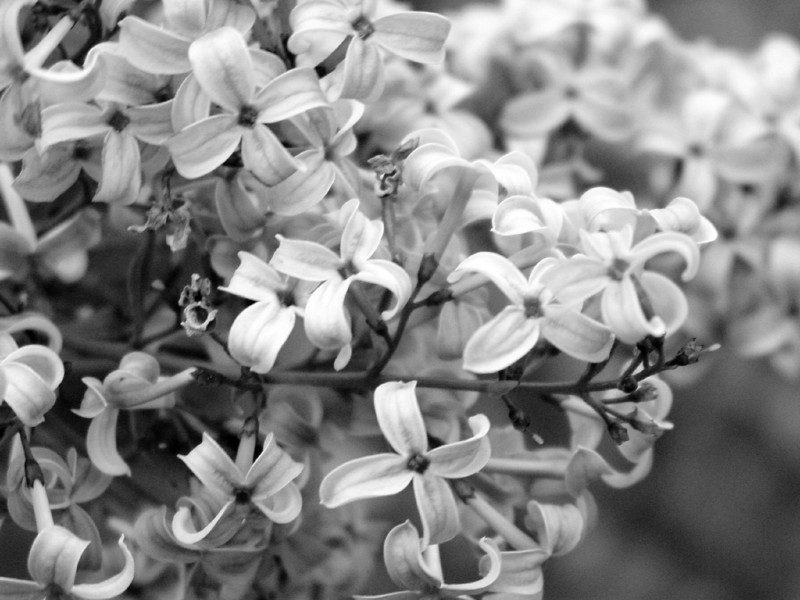 Black and White photos of Lilacs by Deborah Carney.--cutleaf-DSC08949