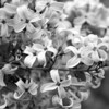 Black and White photos of Lilacs by Deborah Carney.--cutleaf-DSC08949