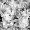 Black and White photos of Lilacs by Deborah Carney.--leon-gambetta-DSC08575