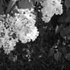 Black and White photos of Lilacs by Deborah Carney.DSC08197