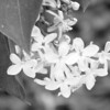Black and White photos of Lilacs by Deborah Carney.--frau-wilhelm-pfitzer-DSC08852