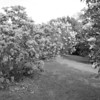 Black and White photos of Lilacs by Deborah Carney.--DSC08517