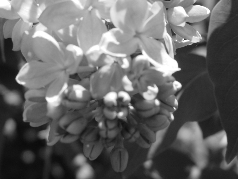 Black and White photos of Lilacs by Deborah Carney.DSC08147