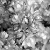 Black and White photos of Lilacs by Deborah Carney.--taras-bulba-DSC08873