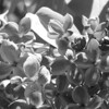 Black and White photos of Lilacs by Deborah Carney.DSC08130