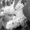Black and White photos of Lilacs by Deborah Carney.--primrose-yellow-DSC08619