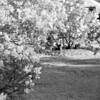 Black and White photos of Lilacs by Deborah Carney.--highland-pk-DSC08706