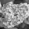 Black and White photos of Lilacs by Deborah Carney.--DSC08590