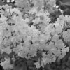 Black and White photos of Lilacs by Deborah Carney.--anabel-DSC08663