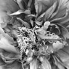 Black and White photos of Lilacs by Deborah Carney.--peonies-DSC08767