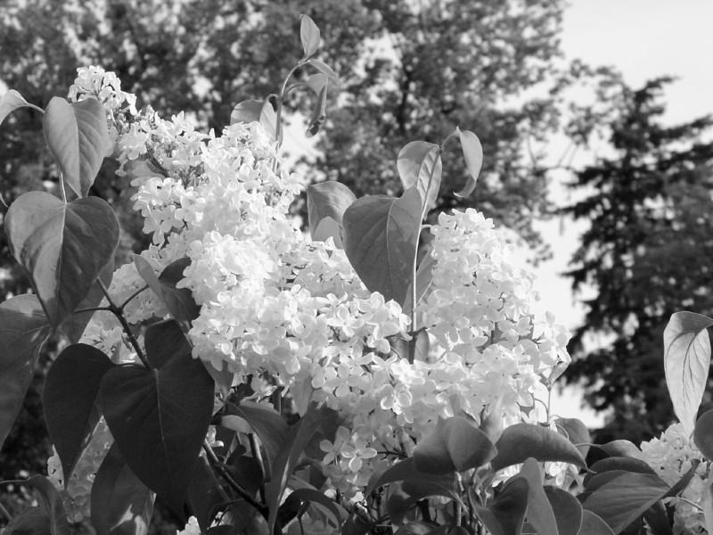 Black and White photos of Lilacs by Deborah Carney.--primrose-yellow-DSC08616