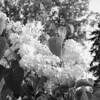 Black and White photos of Lilacs by Deborah Carney.--primrose-yellow-DSC08616