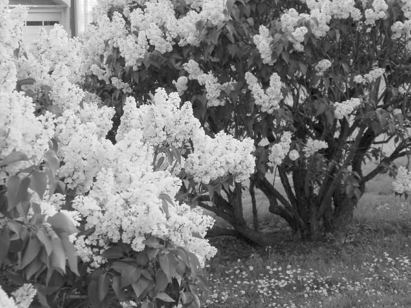 Black and White photos of Lilacs by Deborah Carney.--rochester-DSC08653
