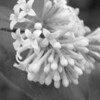 Black and White photos of Lilacs by Deborah Carney.--handel-DSC08842