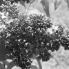 Black and White photos of Lilacs by Deborah Carney.DSC08231