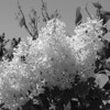 Black and White photos of Lilacs by Deborah Carney.DSC08188