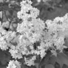 Black and White photos of Lilacs by Deborah Carney.--dr-maillot-DSC08715