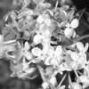 Black and White photos of Lilacs by Deborah Carney.--nokomis-DSC08809