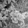 Black and White photos of Lilacs by Deborah Carney.--lilacs-DSC08934
