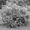 Black and White photos of Lilacs by Deborah Carney.--lilacs-DSC08931