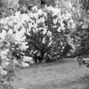 Black and White photos of Lilacs by Deborah Carney.--DSC08573