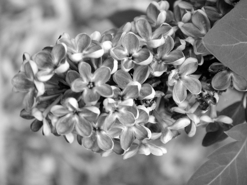 Black and White photos of Lilacs by Deborah Carney.--flower-city-DSC08904