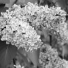 Black and White photos of Lilacs by Deborah Carney.--sensation-DSC08890