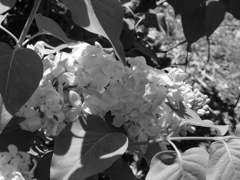 Black and White photos of Lilacs by Deborah Carney.DSC08149