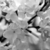 Black and White photos of Lilacs by Deborah Carney.--anabel-DSC08665
