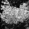 Black and White photos of Lilacs by Deborah Carney.DSC08190