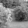 Black and White photos of Lilacs by Deborah Carney.--DSC08538