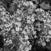 Black and White photos of Lilacs by Deborah Carney.DSC08225