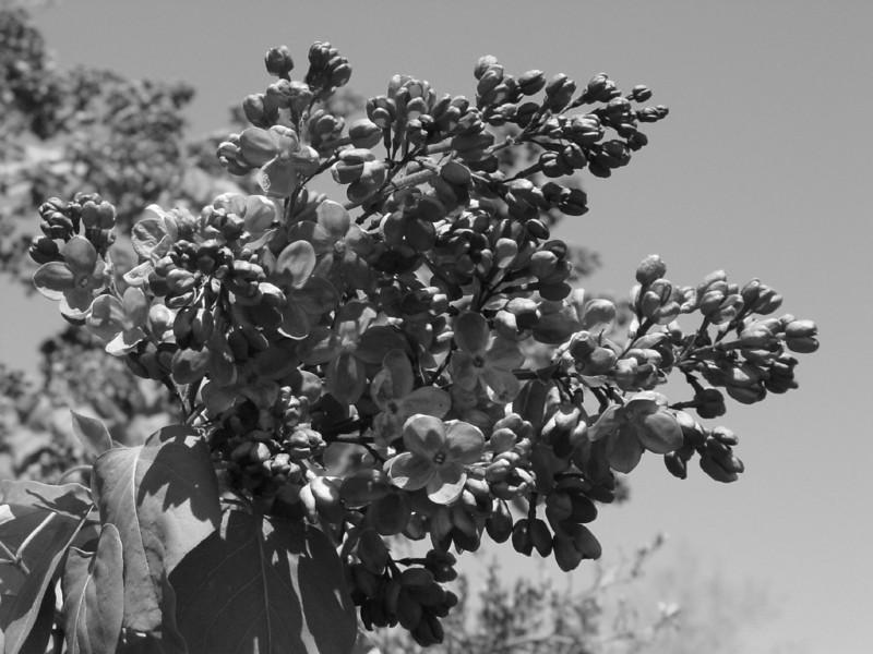Black and White photos of Lilacs by Deborah Carney.DSC08209