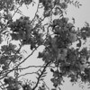 Black and White photos of Lilacs by Deborah Carney.--kelsey-locust-DSC08724