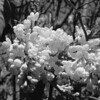 Black and White photos of Lilacs by Deborah Carney.DSC08177