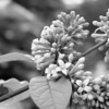 Black and White photos of Lilacs by Deborah Carney.--handel-DSC08844