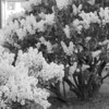 Black and White photos of Lilacs by Deborah Carney.--rochester-DSC08654