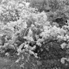 Black and White photos of Lilacs by Deborah Carney.--syringa-laciata-DSC08549