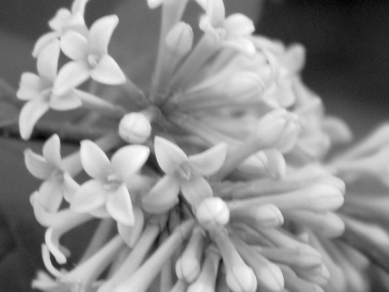 Black and White photos of Lilacs by Deborah Carney.--handel-DSC08841