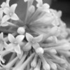 Black and White photos of Lilacs by Deborah Carney.--handel-DSC08841