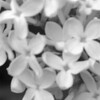 Black and White photos of Lilacs by Deborah Carney.--frau-wilhelm-pfitzer-DSC08849