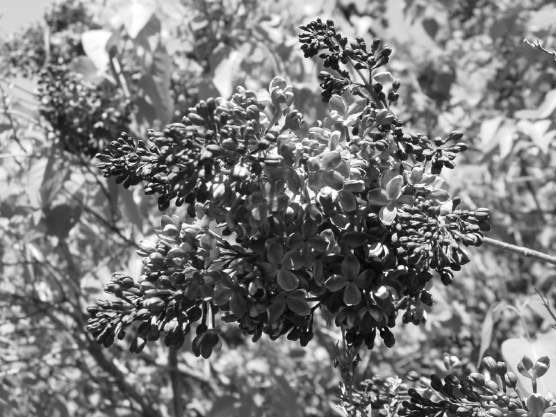 Black and White photos of Lilacs by Deborah Carney.DSC08138