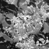 Black and White photos of Lilacs by Deborah Carney.DSC08187