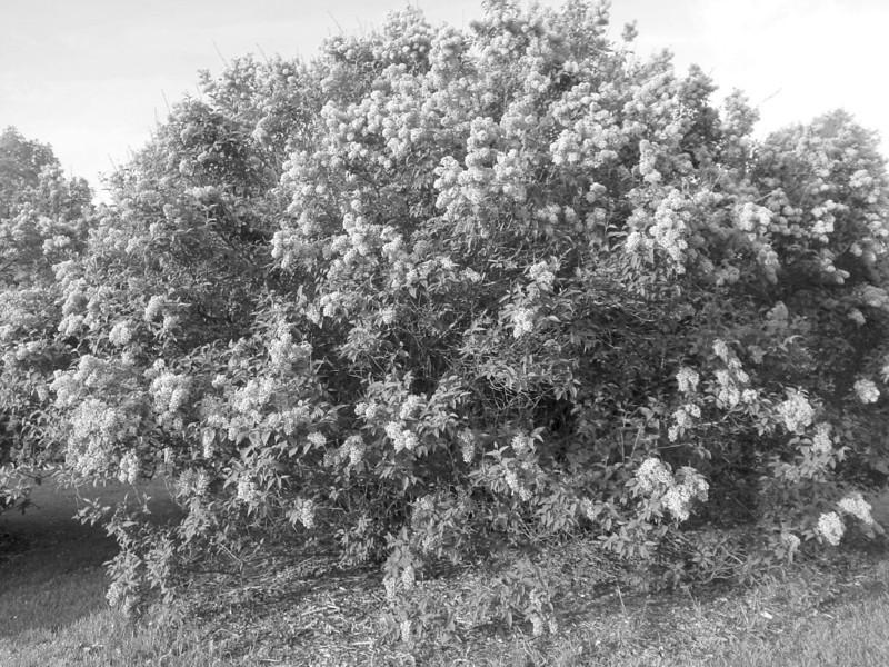 Black and White photos of Lilacs by Deborah Carney.--DSC08693