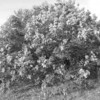 Black and White photos of Lilacs by Deborah Carney.--DSC08693