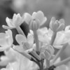 Black and White photos of Lilacs by Deborah Carney.--anabel-DSC08668