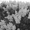 Black and White photos of Lilacs by Deborah Carney.--rochester-DSC08650