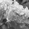 Black and White photos of Lilacs by Deborah Carney.--DSC08552