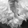 Black and White photos of Lilacs by Deborah Carney.--krassavica-moskvy-DSC08921