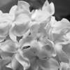 Black and White photos of Lilacs by Deborah Carney.--jessie-gardner-DSC08793